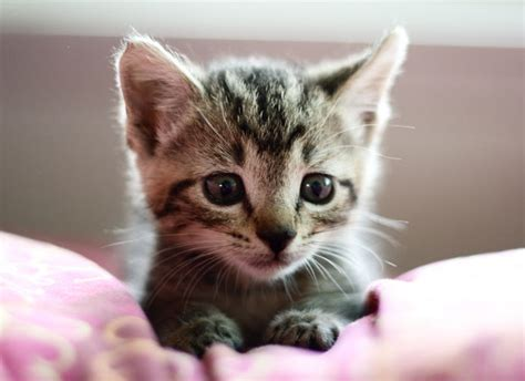 Really Small Kittens Cute Rescue Tabby Kitten Tiny Litle