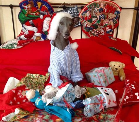 christmas bow tie for dog rupert the whippet dog mimics the queen 39 s speech in