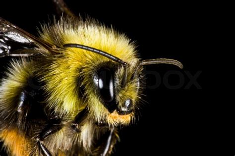 bumblebee  close  insect stock photo colourbox
