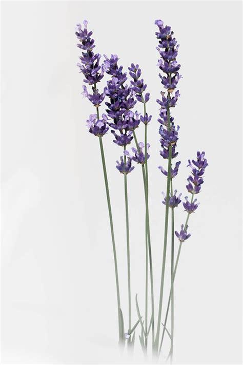 Bilder Mit Lavendel by Lavender Flower Nature 183 Free Photo On Pixabay