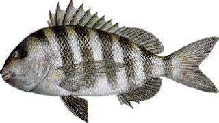 fish   day sheepshead