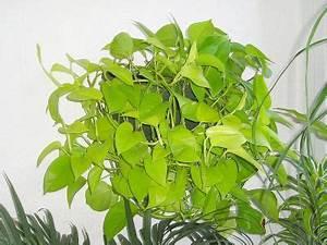Efeutute Epipremnum pinnatum Neon Majas Pflanzenblog