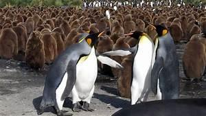 King Penguin Vs Emperor Penguin   www.pixshark.com ...