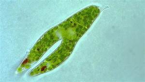 Euglena - Longitudinal binary fission | Doovi