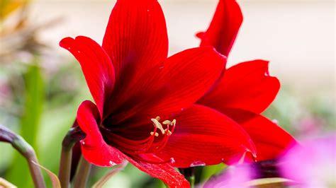 amaryllis blüht nicht amaryllis 252 berwintern 252 bersommern pflege nach der bl 252 te