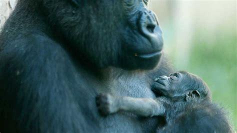 gorilla god sweet