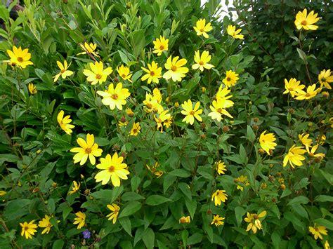 bush yellow flowers in what is this yellow flowering bush gardening forum gardenersworld com