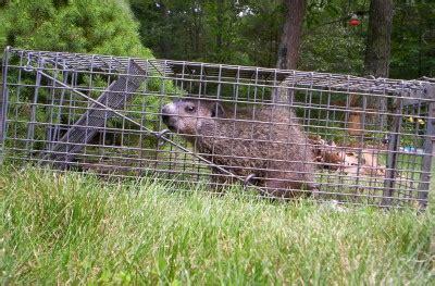 animal evictions llc professional woodchuck