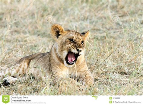 Cute Baby Lion Yawning