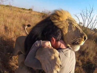 video   man hugging  wild lion  bring   tears