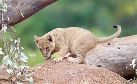Meet The Lion Cubs  Zoos Victoria