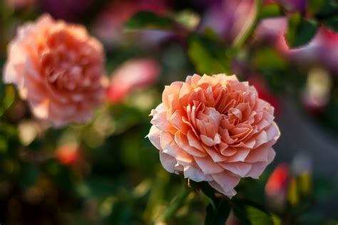 types of roses varieties and types of roses to consider for your garden