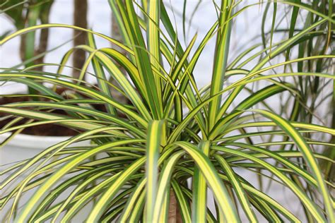 wann pflanzen zurückschneiden drachenbaum schneiden anleitungen zum k 252 rzen und vermehren