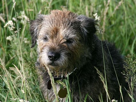 border terrier dogs breeds pets