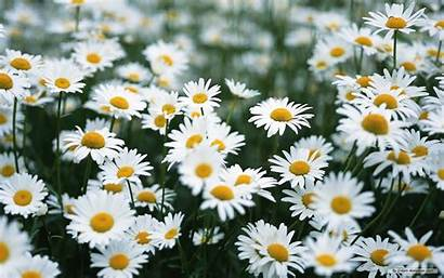 Daisy Colors Daisies Fanpop Flower Wallpapers Flowers