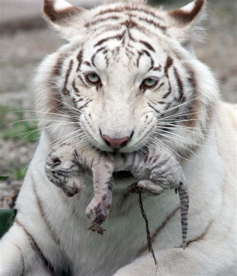 Pictures Tigers White Tiger Holding