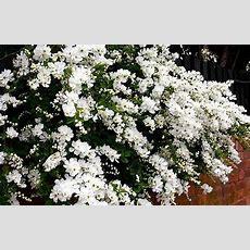 10 Best Spring Flowering Shrubs In Pictures Telegraph