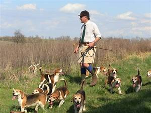 Beagle Hunt Training - Owners Tips and Useful Advices