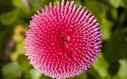 Flowers Pink Flower Wallpapers Daisy Desktop Nature