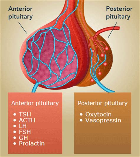 What is the Pituitary Gland? | How the Pituitary Gland ...