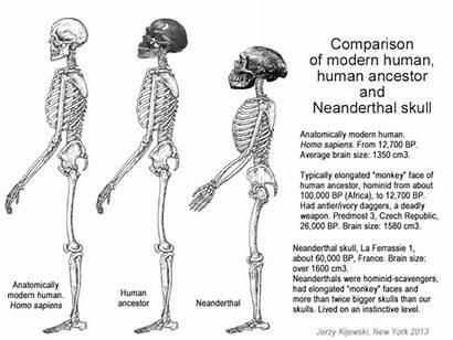Neanderthal Evolution Skull Cro Neanderthals Human Skeleton