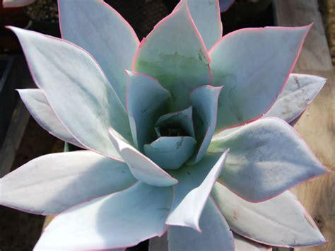 echeveria cante world  succulents