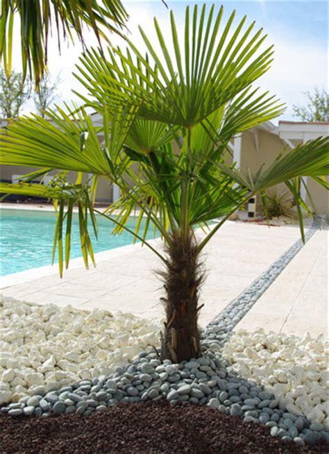type de palmier exterieur piscine et jardin conseils jardinage l entretien du palmier