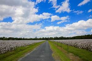 Sweet, Southern, Days, The, Cotton, Fields, Of, South, Georgia