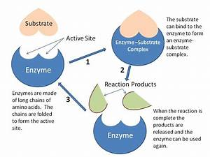 3 6 Enzymes