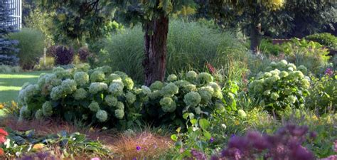 hortensien richtig pflegen hortensientraeume