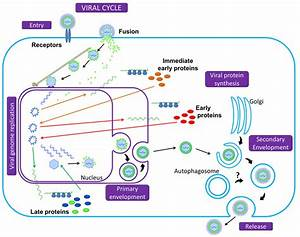 Summary Of The Herpesvirus Replication Cycle  Initiation