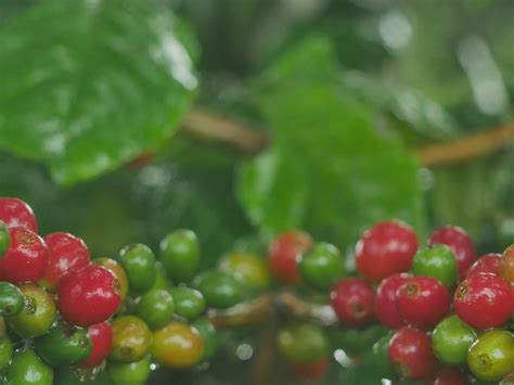 Processing coffee so separating the coffee cherry's fruit flesh and skin from the coffee beans is one of the most crucial aspects of farming coffee. Geisha Red Honey | Specialty Colombian Coffee | Hong Kong | China