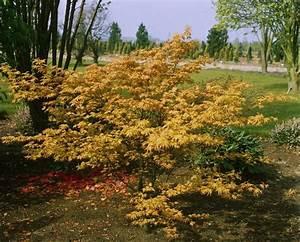 Erable Du Japon Entretien : erable du japon acer palmatum orange dream arbres et ~ Nature-et-papiers.com Idées de Décoration
