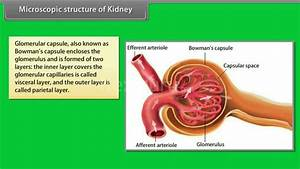 Microscopic Structure Of Kidney