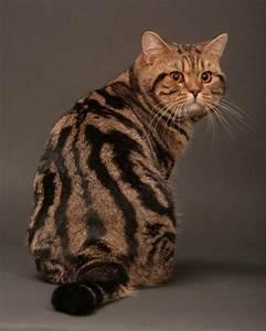 British Shorthair tabby et silver tabby | kitten ...