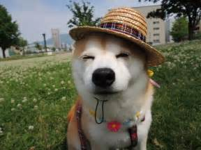 392 Best For The Love Of Shibas Images On Pinterest