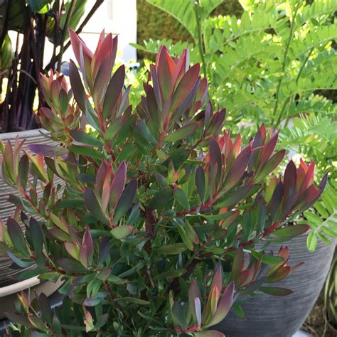 magi plant leucadendron royal hawaiian 174 hawaii magic planthaven international
