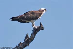 Osprey Eagle or Hawk
