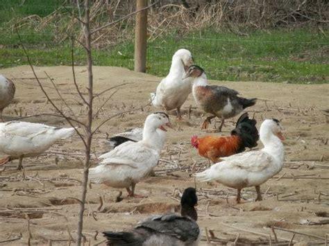 animali da cortile foto di mortara immagini di mortara provincia di pavia