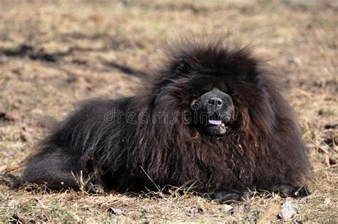 chow chow black stock photo image  evil aggression