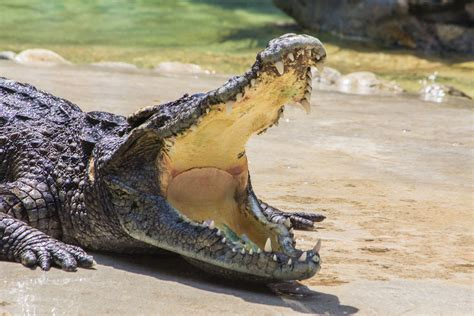what color are crocodiles later gator nile crocodiles may be invading