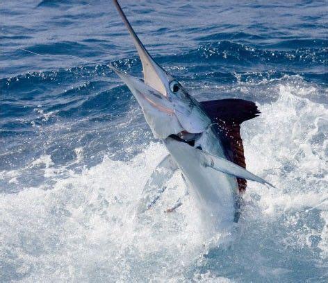 marlin fishing florida fish ocean maryland jumping marlins ioutdoor offshore open billfish sea adventures deep md keys sport ross rica
