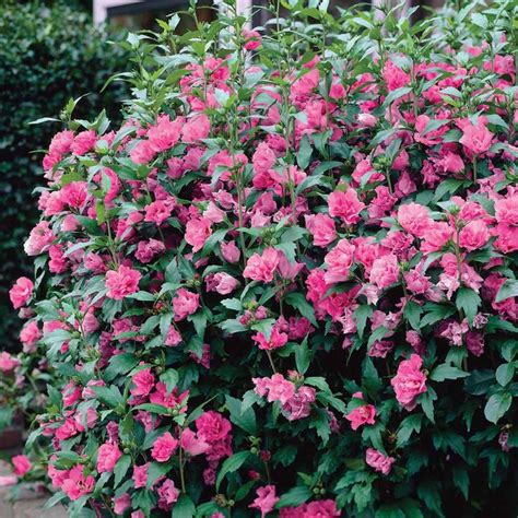 Hibiscus Syriacus 'turkish Delight'  Garden Plants & Wish
