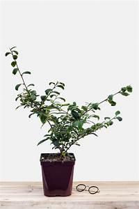 Comment Planter Un Camélia : le th ier un arbuste qui vous fait voyager in my french garden ~ Melissatoandfro.com Idées de Décoration