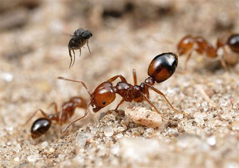 can ants fly bio control introducing phorid flies to control red invasive fire ants rifa antark