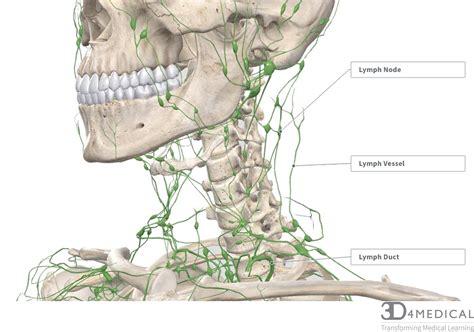 nerves blood vessels  lymph advanced anatomy  ed