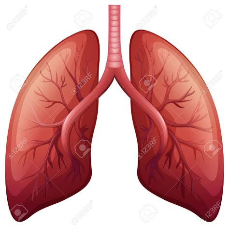 Lungs Clipart Human Lungs Clipart Www Pixshark Images Galleries