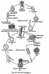 Phylogenetic Relationships Of Phycomycetes