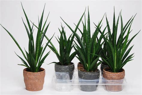best house plants sansevieria cylindrica kirkii in ceramics florastore