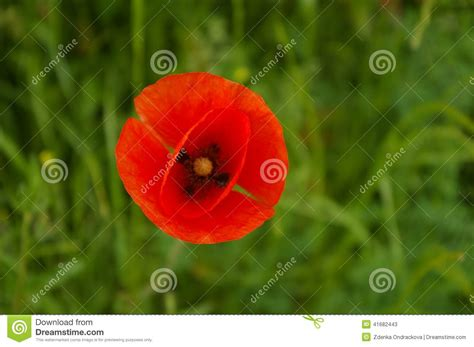 poppy bloom time poppy bloom stock photo image 41682443
